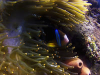 Clark's anemonefish fish playing in the elegance coral at Amed, Sunken ship diving site, Bali, Indonesia.