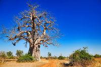 monkey-bread tree, South Luangwa NP, Zambia, (Adansonia digitata)