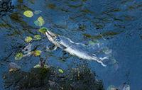 Dead Chinook Salmon during spawning season, Ketchikan Creek, Ketchikan, Alaska.