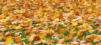 Autumn yellow maple leaves on green grass