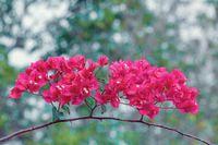 Red Bougainvillea flowers, Madagascar