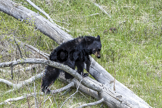 Bear cub climbs over tree trunk.