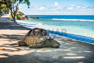 Seychelles giant tortoise, La Digue island.