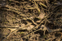 Close up of old weathered roots from trees on the forest floor