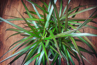Indoor ornamental plant dracaena. The view from the top.