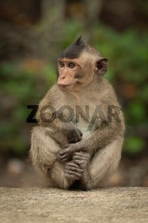 Baby long-tailed macaque sits cross-legged on wall