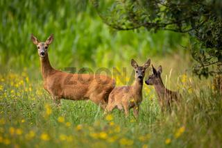 Row deer family graze on meadow, Czech wildlife