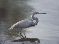 Tricolored Heron  in a pond