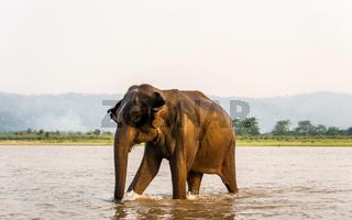 Elephant in the Gandak river in Chitwan National Park, Nepal