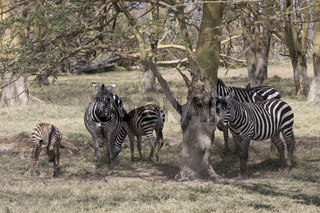 herd Plains Zebra which stands in the shade of acacias on a hot, sunny day