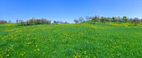 Panorama - Hilly meadow with yellow dandelion