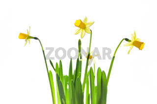 Bunch of daffodils isolated on white background.