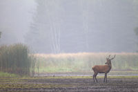 Red Deer, Red stag, Cervus elaphus