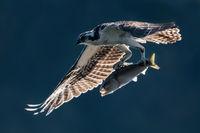 Osprey in Flight With Catch VII