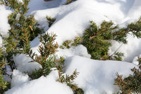 Melting snow on a  coniferous tree