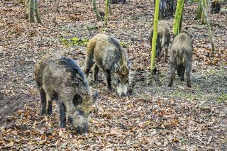 Wildschweine | Wild boars