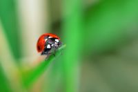 Ladybug sitting on a green flower leaf