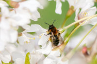 Bee collecting pollen in white blossoms
