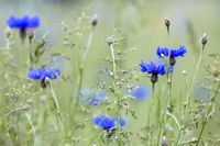 Flowering blue cornflower (Cyanus segetum) on a meadow