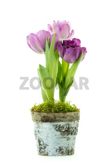 Purple tulips in a pot isolated on white background.