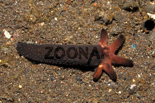Luzon Sea Star Regenerating Arms