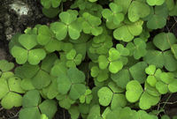 Oxalis acetosella wood sorrel green foliage plant in forest, bunch of green leaves on tree bark.