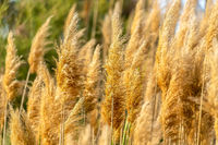 Close up view of yellowish brown grasses illuminated by sunlight on a sunny day