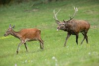 Red deer couple running on a meadow close together in mating season