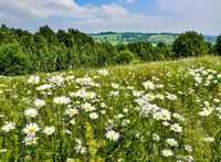 Picturesque summer landscape with blossoming white chamomiles on meadow