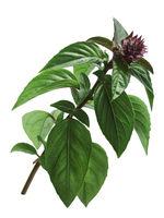 Thai Holy Basil stem, paths