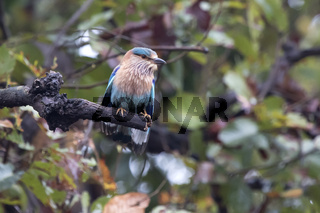 Indian Roller sitting on a dry tree branch on a cloudy rainy day
