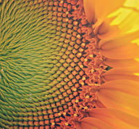 detail of a sunflower