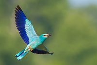 European roller flying in the sky with green background and space for text.