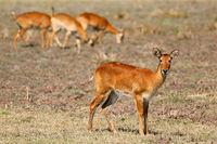 Pukus, South Luangwa National Park, Zambia, (Kobus vardonii)