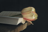 Yellow tulip and an open book in dark background