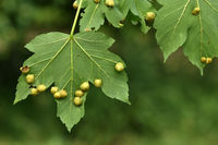maple gall wasp; gall wasp; sycamore maple;