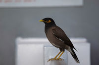 Common Myna, Acridotheres tristis, Jhalana, Rajasthan, India.