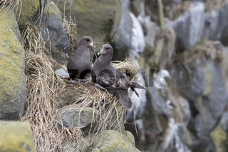 A pair of Northern fulmar sitting near a nest on the slope of a high cliff on the island of Medny