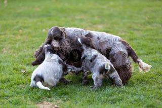 purebred English Cocker Spaniel with puppy