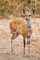 Bushbuck, South Luangwa National Park, Zambia, (Tragelaphus scriptus)