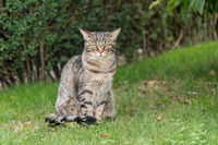 gray domestic cat sits in the meadow and looks to the camera