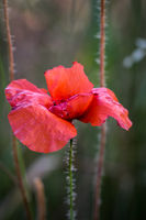 Papaver rhoeas common names include corn poppy , corn rose , field poppy , Flanders poppy , red popp