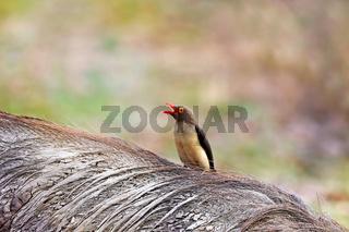Rotschnabel-Madenhacker sitzt auf einem Warzenschwein, Sambia (Buphagus erythrorhynchus)