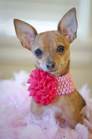 Tiny chihuahua dog with Pink bow sitting on a bed of pink feathers