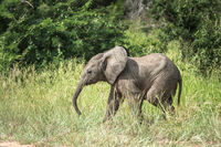 Young African Elephant in Kruger Park, South Africa