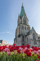 Kristansand, Norway - May 17, 2018: Colorful tulips growing in front of Domkirken, the church in Kristiansand city, with blue sky in the back