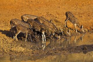 Spotted deer or chital, Axis axis, Bandhavgarh Tiger Reserve, Madhya Pradesh, India
