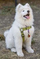 Samoyed Dog Puppy Female Sitting and Looking Up.