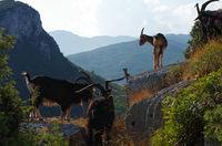 Goat herd - Inland - Finale Ligure - Liguria