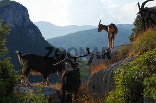 Ziegenherde - Hinterland - Finale Ligure - Ligurien